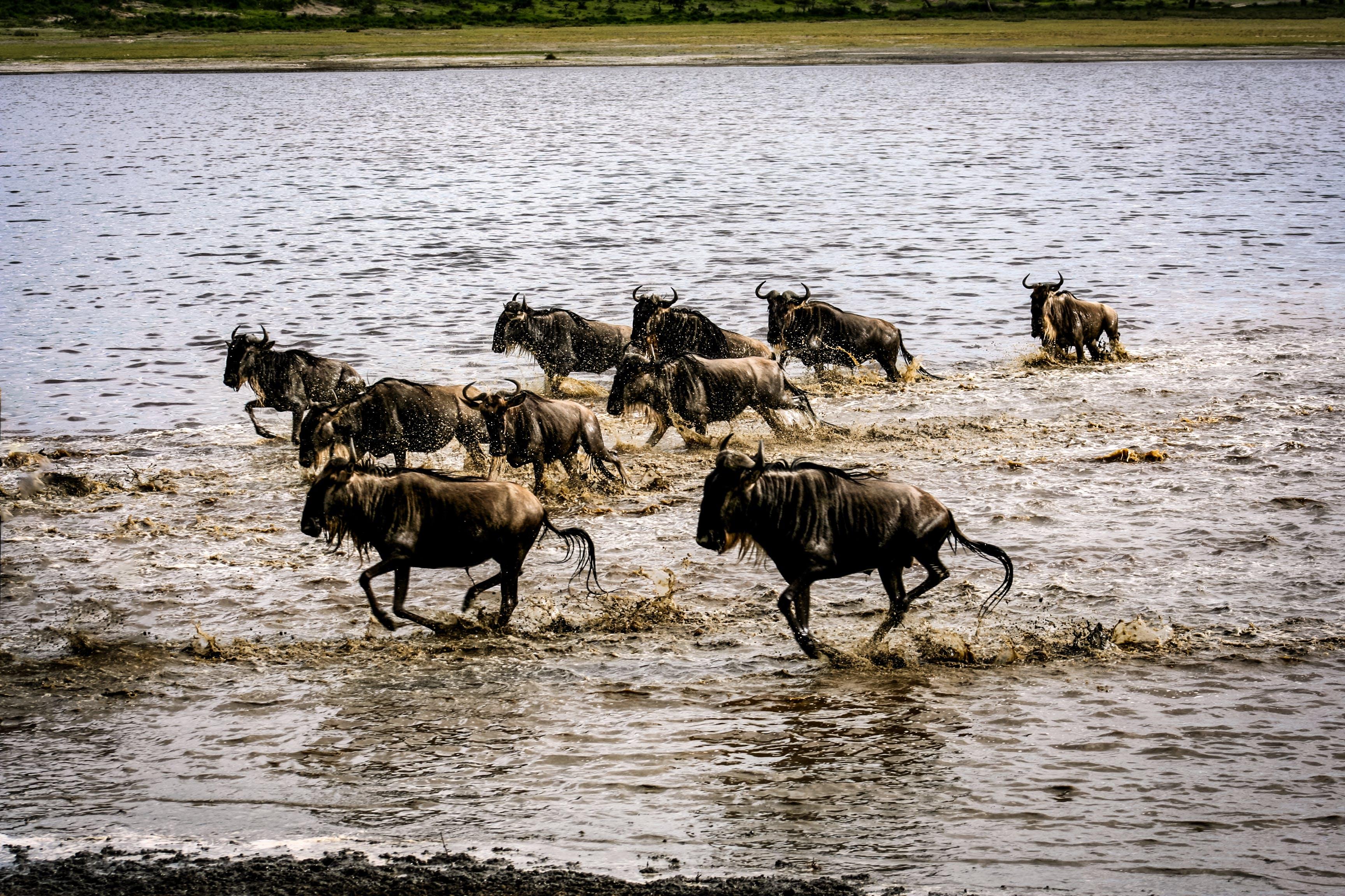 Free stock photo of migration, wildebeast