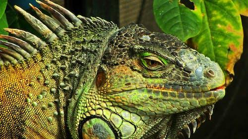 Shallow Focus Photography of Green Iguana