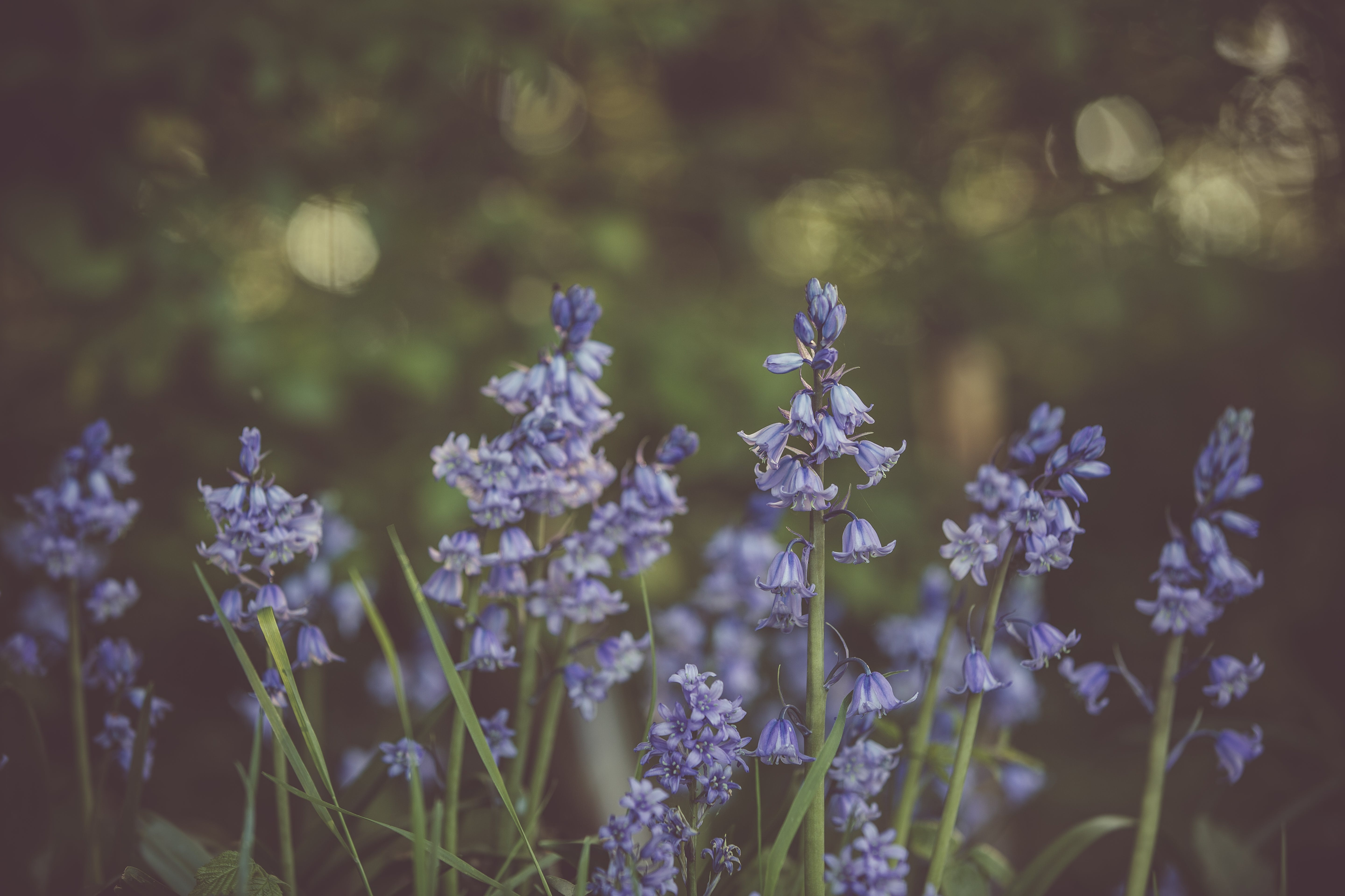 Selective Focus Photo of Purple Bluebell Flower