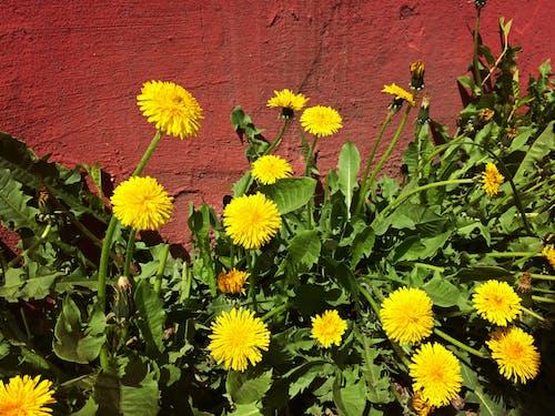 Free stock photo of dandelion, flowers, summer