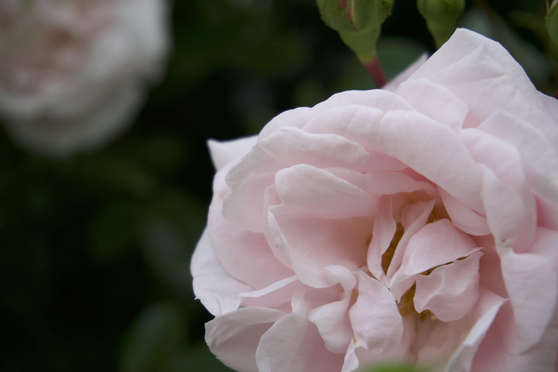 Free stock photo of black, bright, Chelsea, flower
