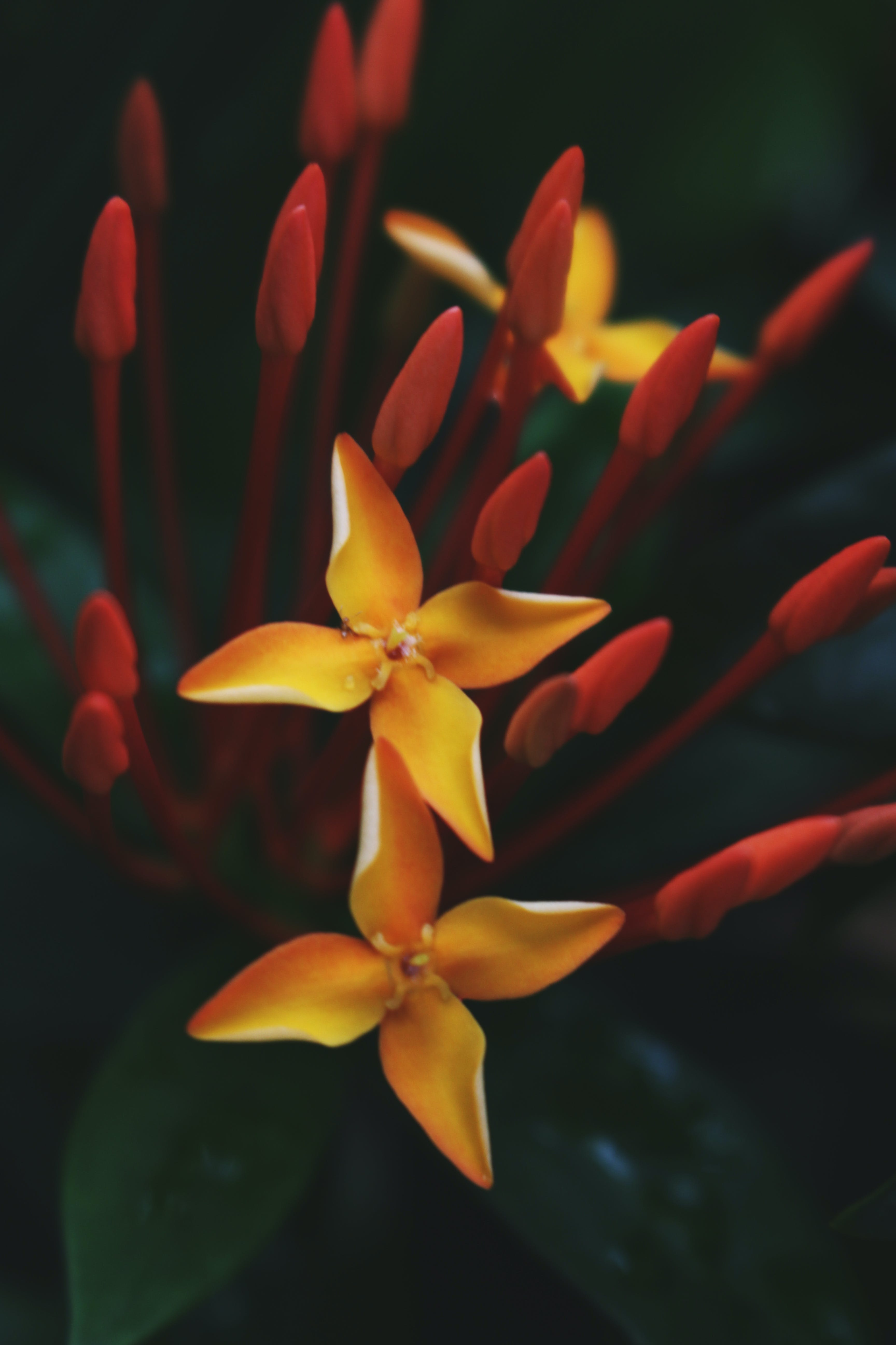 Close-up Photography of Yellow Ixora Flowers