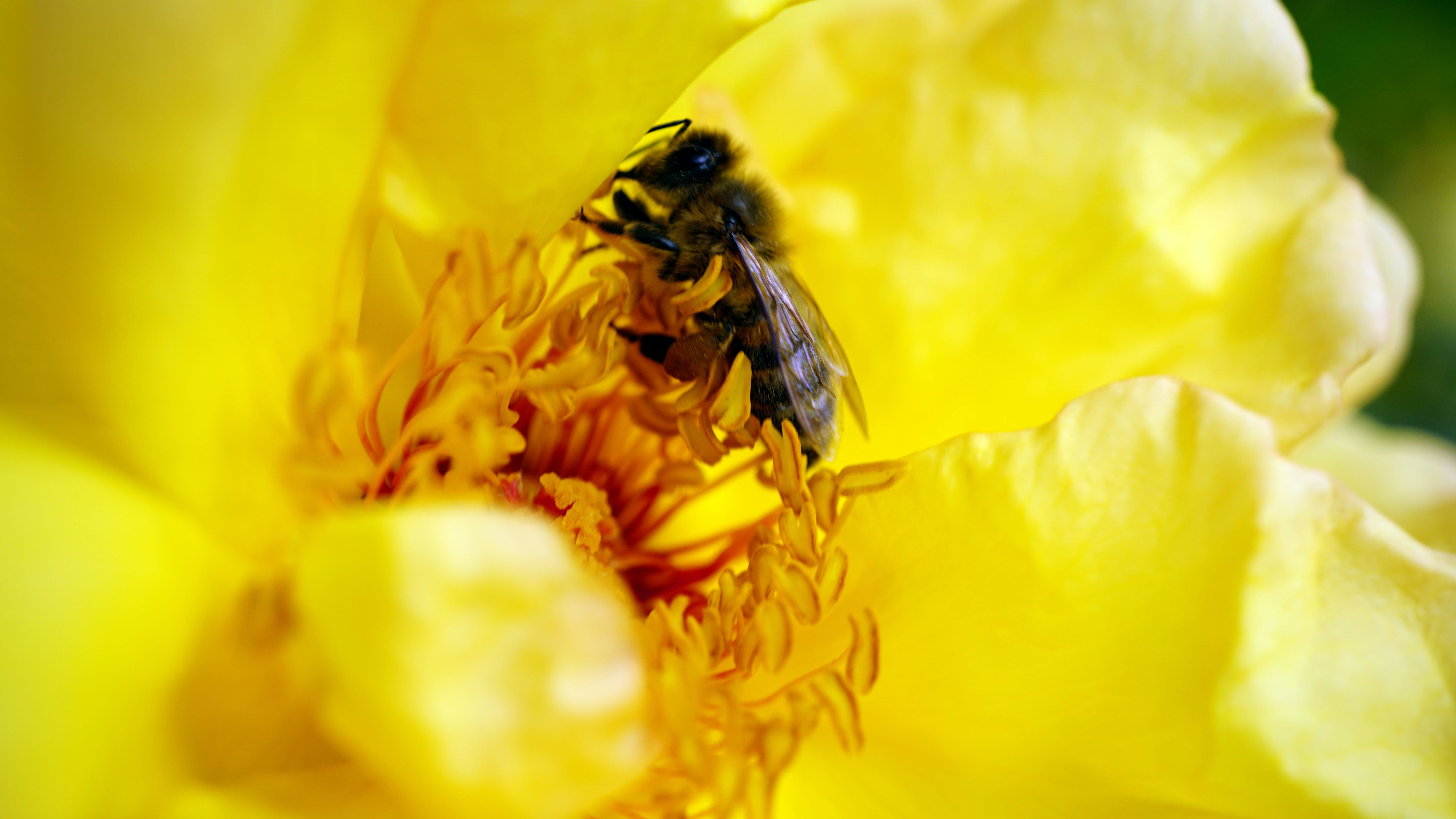 Honeybee on Yellow Petaled Flower