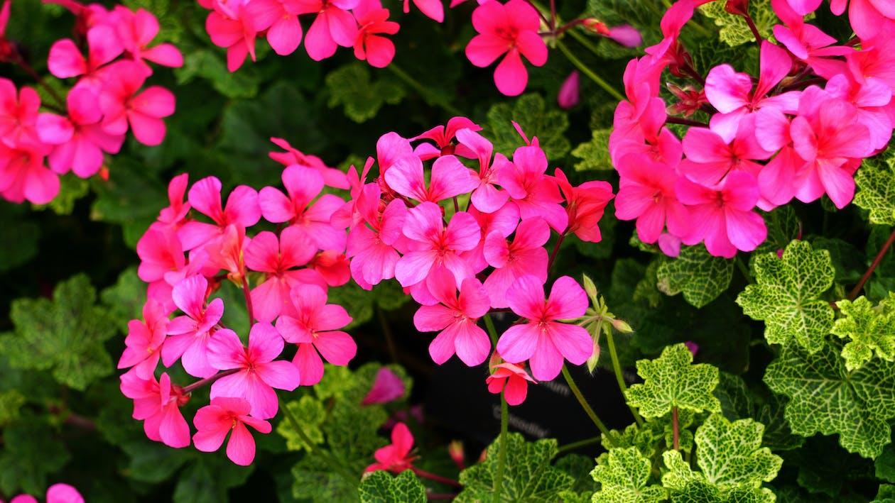 Macro Photography of Red Geranium Flowers