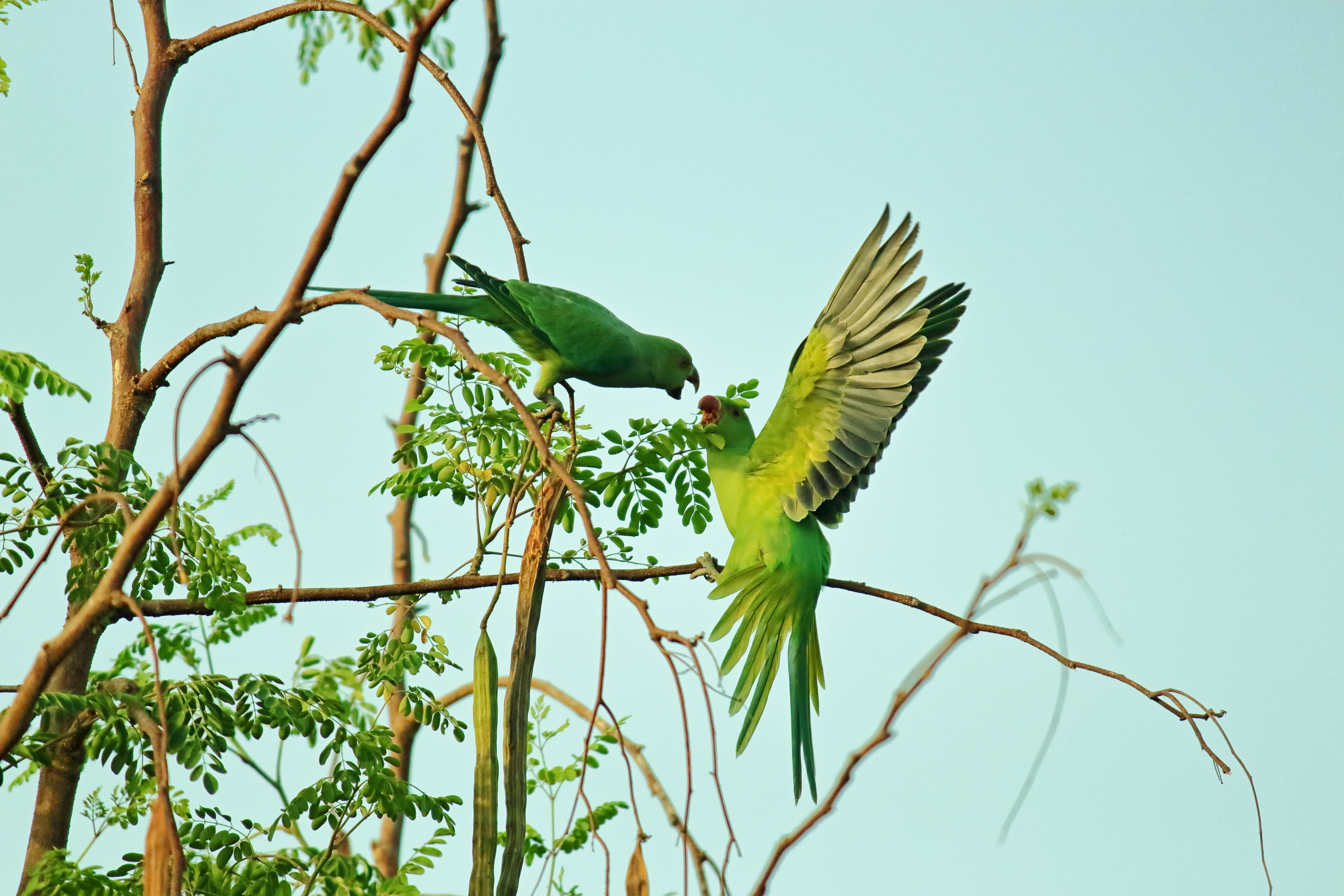 Two Green Parrots