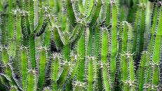 plant, green, cactus