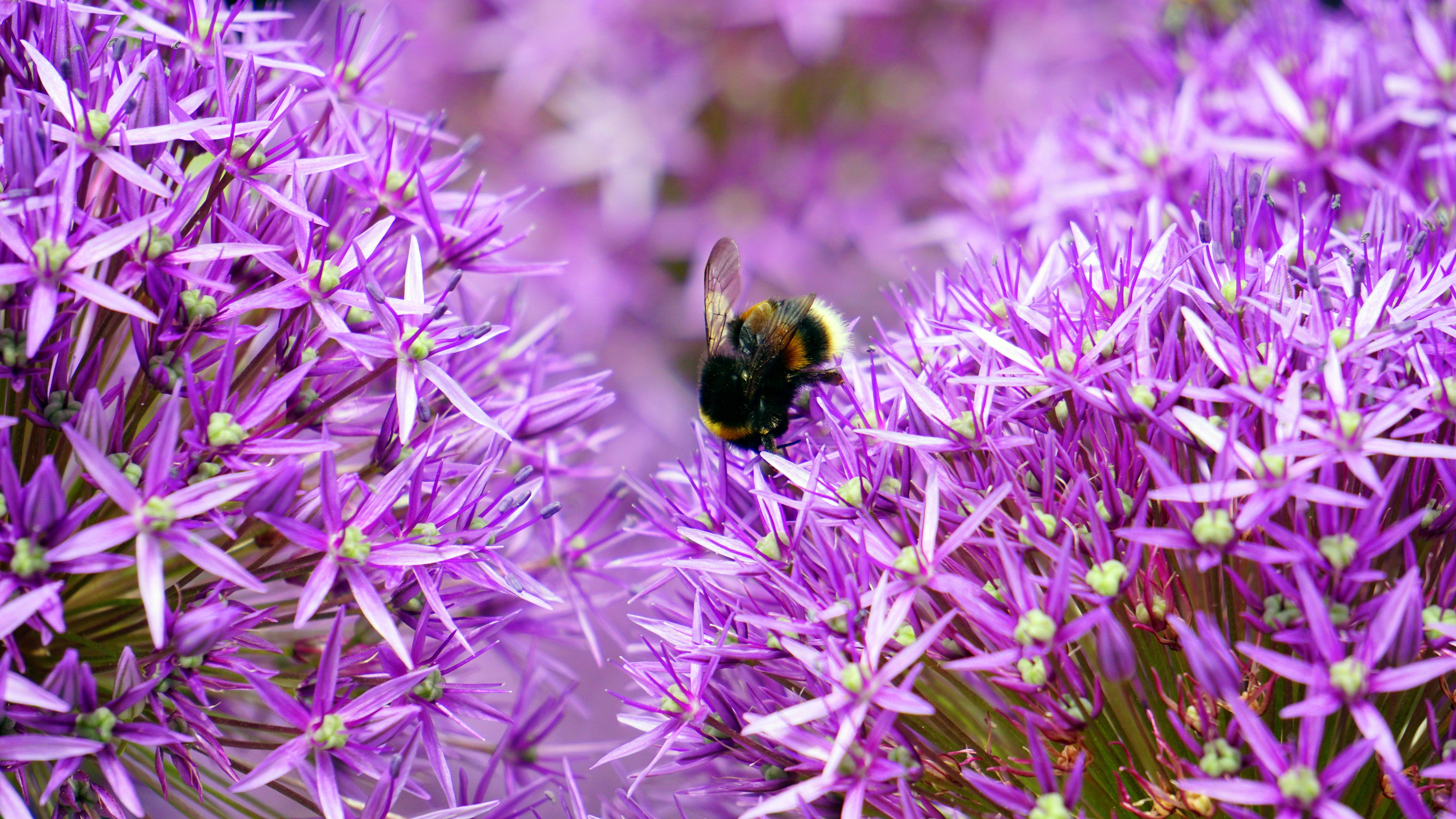 Black and Yellow Bee on Purple and White Flower during Day Time