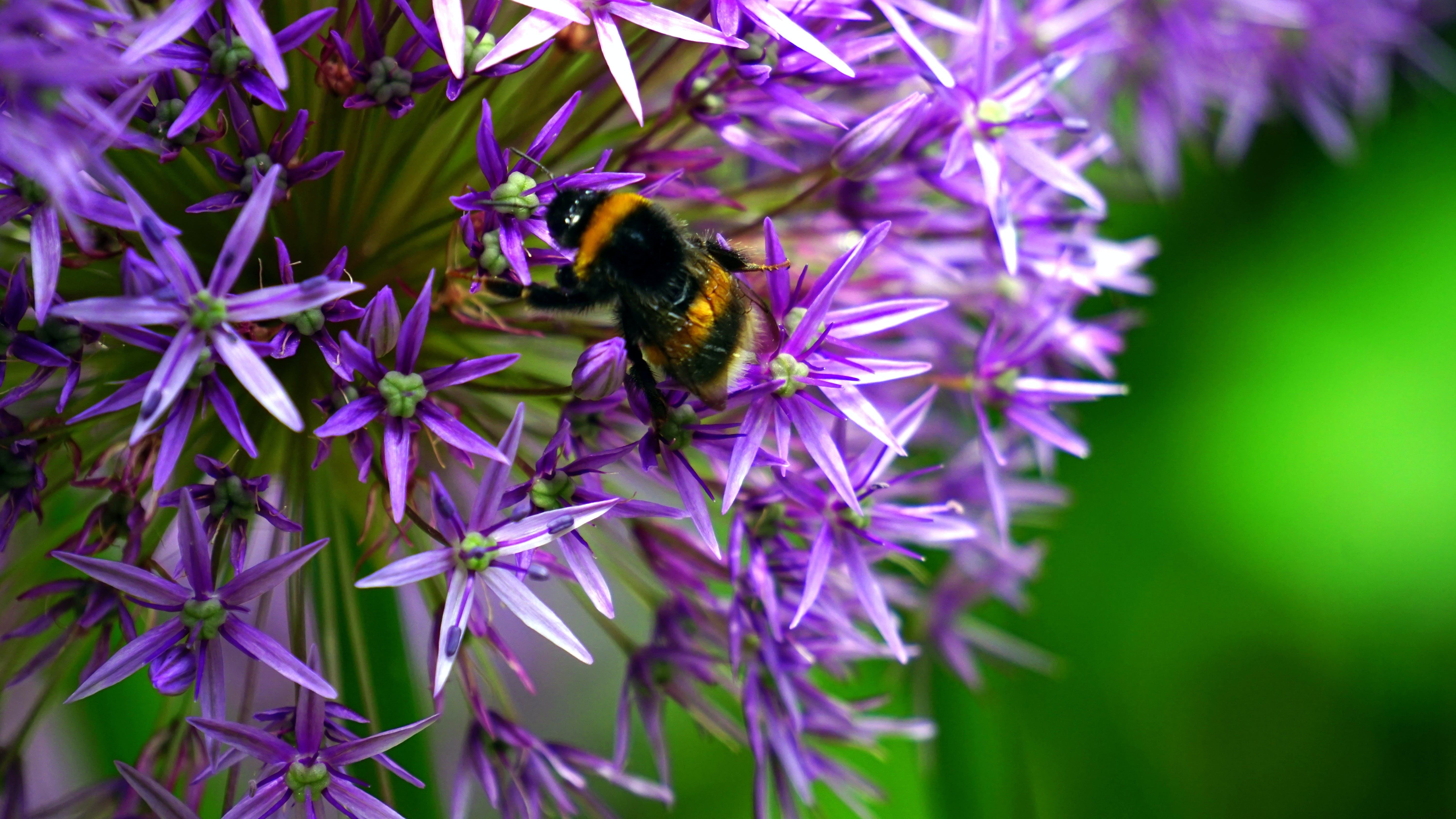 Selective Focus Photo of Bumble Bee on Purple Cluster Flower