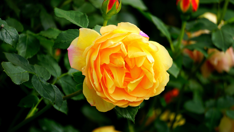 blomst, blomsterknopper, blomstrende