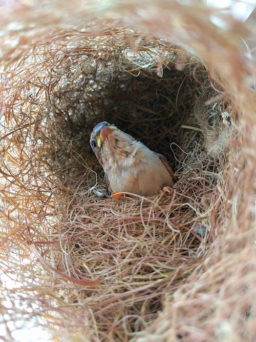 Foto d'estoc gratuïta de niu d'ocells, pardal