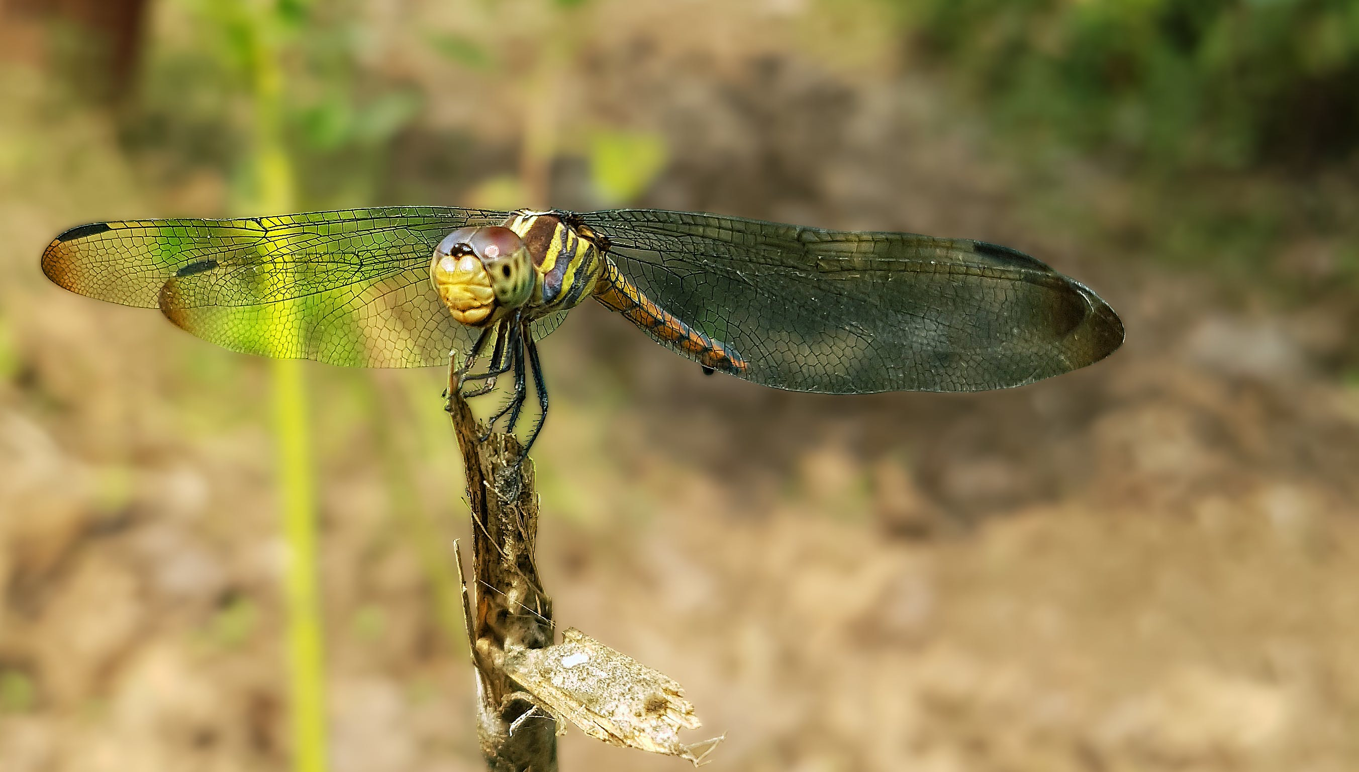 Green Dragonfly Perched on Brown Stem in Closeup Photography
