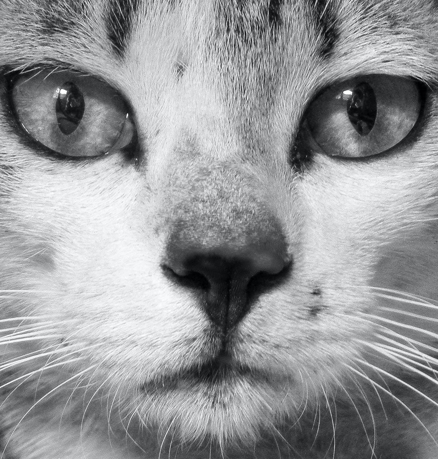 Free stock photo of animal portrait, cat, closeup, pet