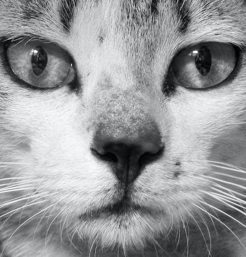Foto d'estoc gratuïta de blanqueig, fotografia, gat, mascota