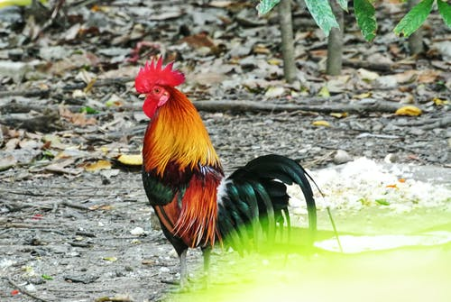 Imagine de stoc gratuită din animal, cocoș, colorat, fermă