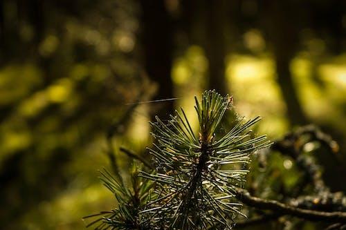 Δωρεάν στοκ φωτογραφιών με δασικός, πεύκο, πευκοβελόνες, φύση