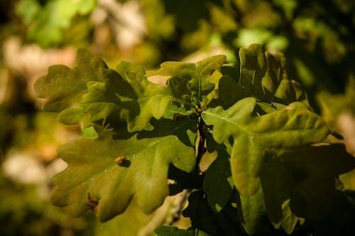 Δωρεάν στοκ φωτογραφιών με δασικός, δέντρο, δρυς, πράσινος
