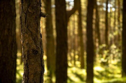 Δωρεάν στοκ φωτογραφιών με δασικός, δέντρα, πεύκα, πεύκο φλοιός