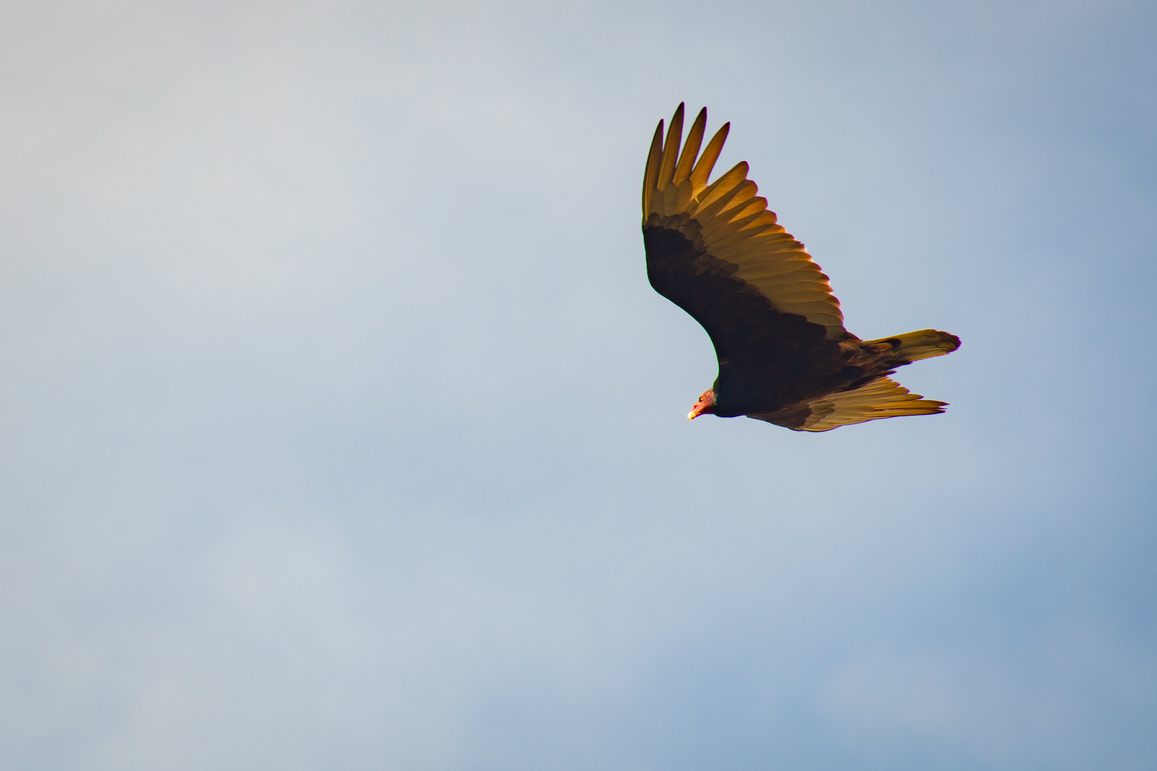 Brown and Yellow Bird Flying in the Sky