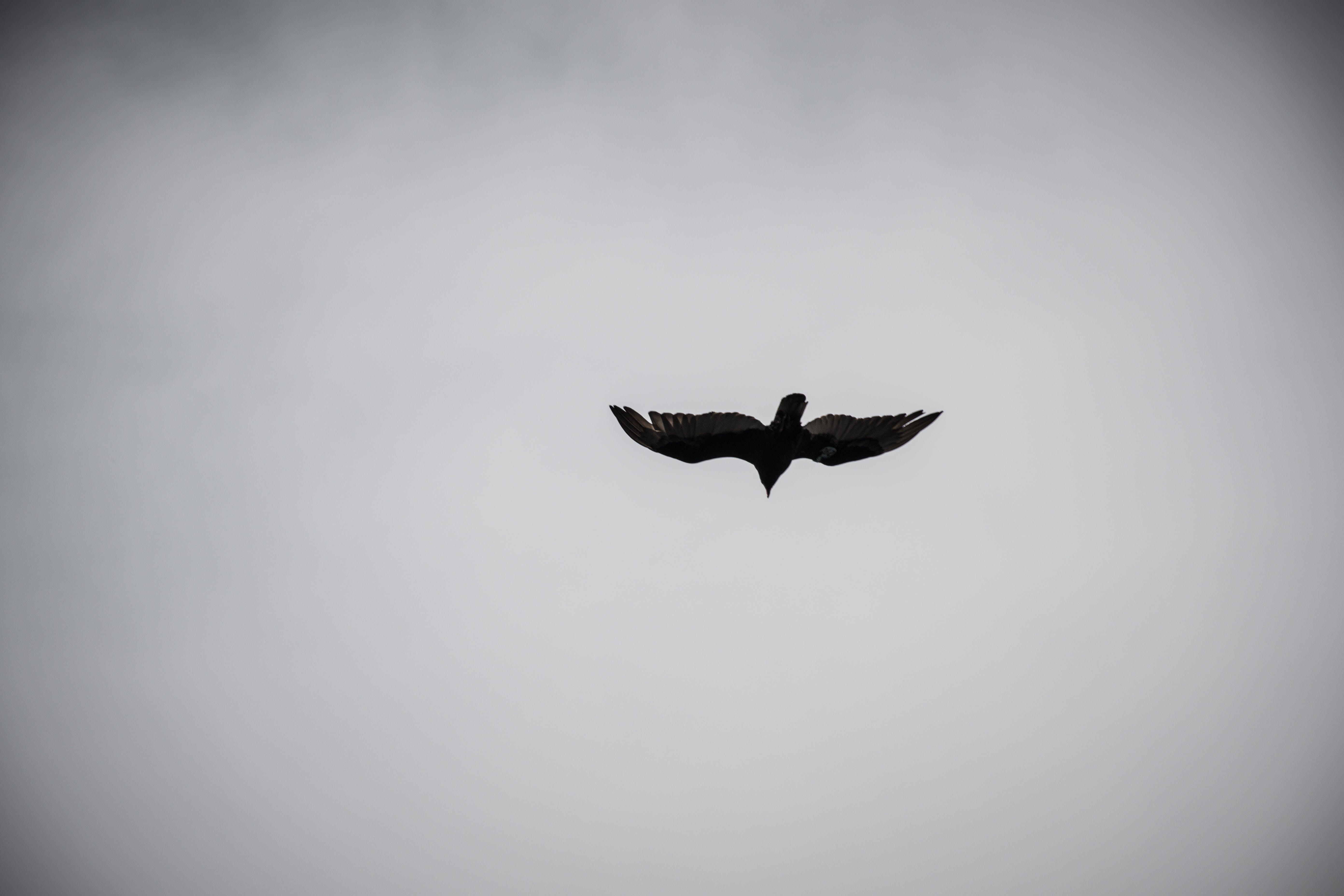 Kostenloses Stock Foto zu adler, fliegen, flug, flügel