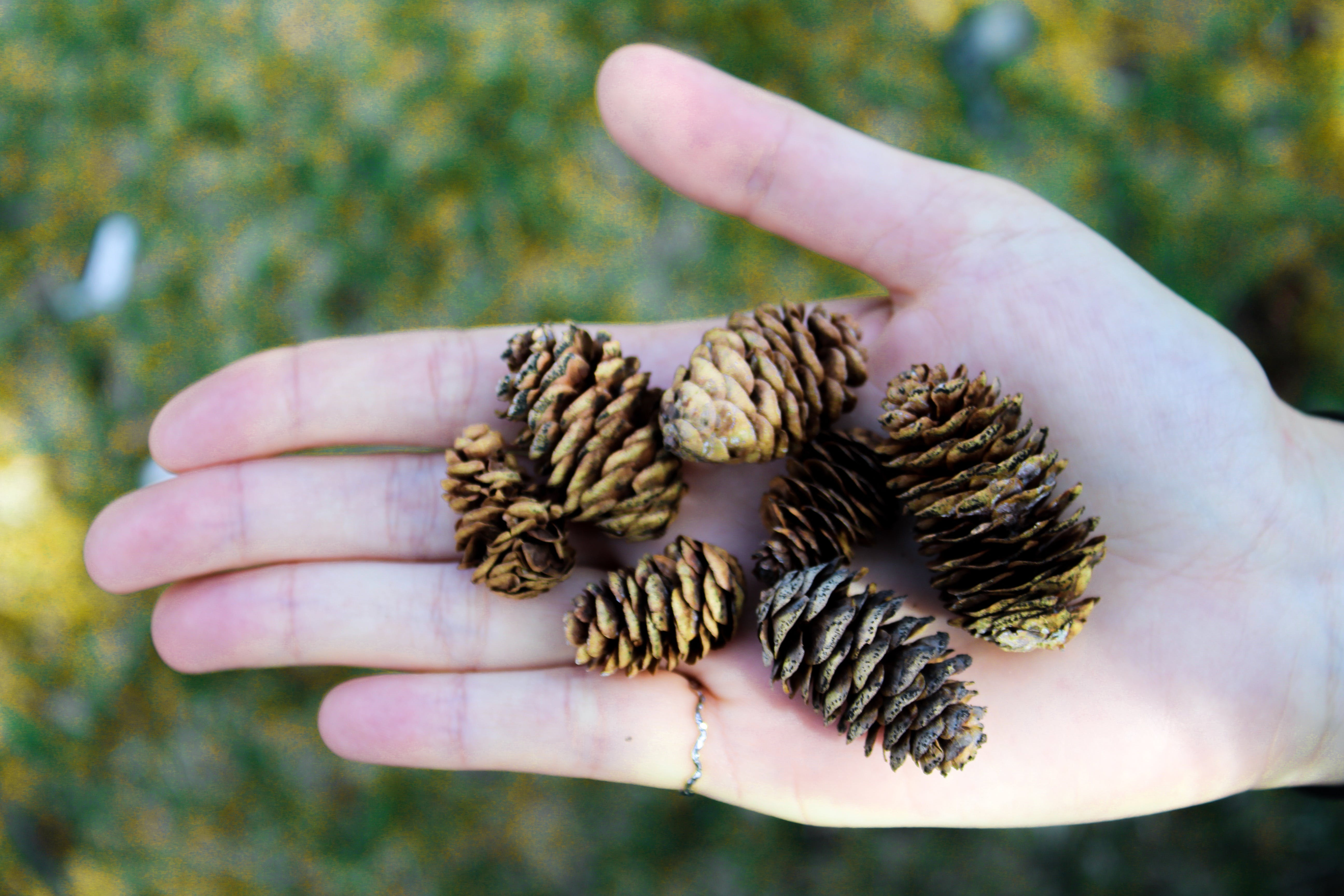 Pine Tree Cons on Person's Palm