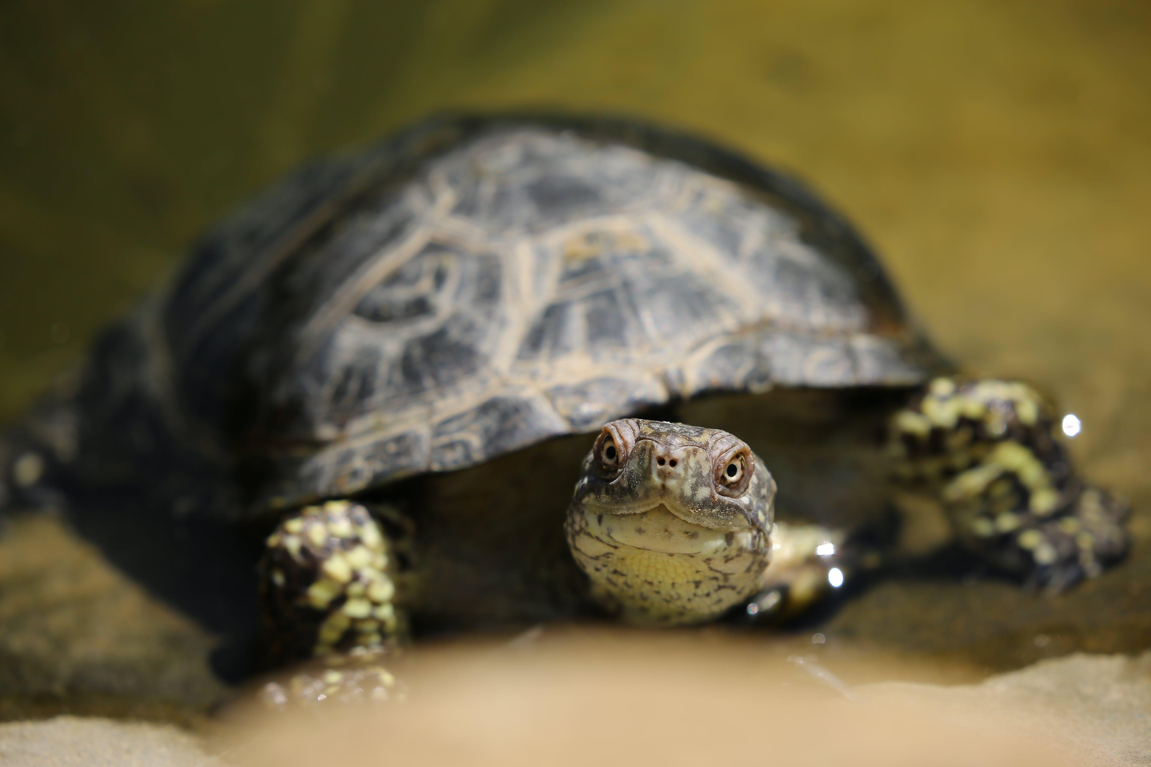 Kostenloses Stock Foto zu makro, nahansicht, reptil, schildkröte