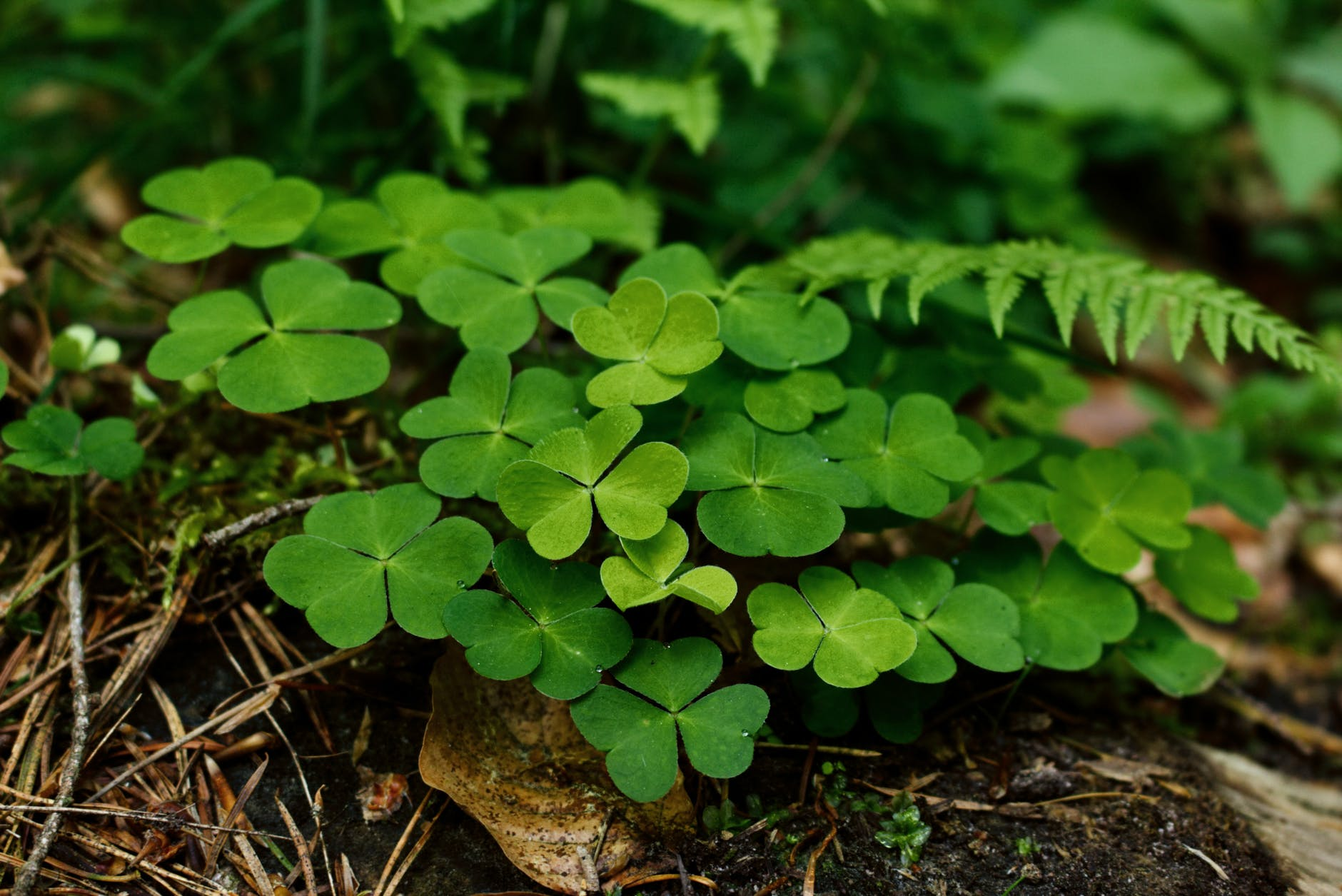 Clover | 63 Amazing Pest And Insect Repellent For Plants You Should Know