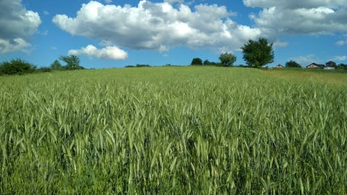 Бесплатное стоковое фото с голубое небо, поле, пшеница