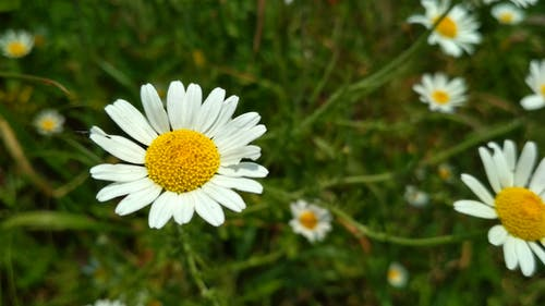Free stock photo of chamomile