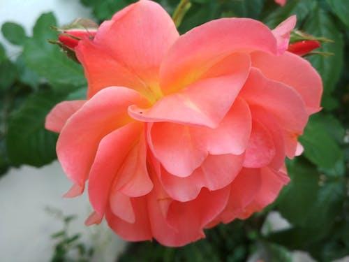 Бесплатное стоковое фото с роза, цветок роза