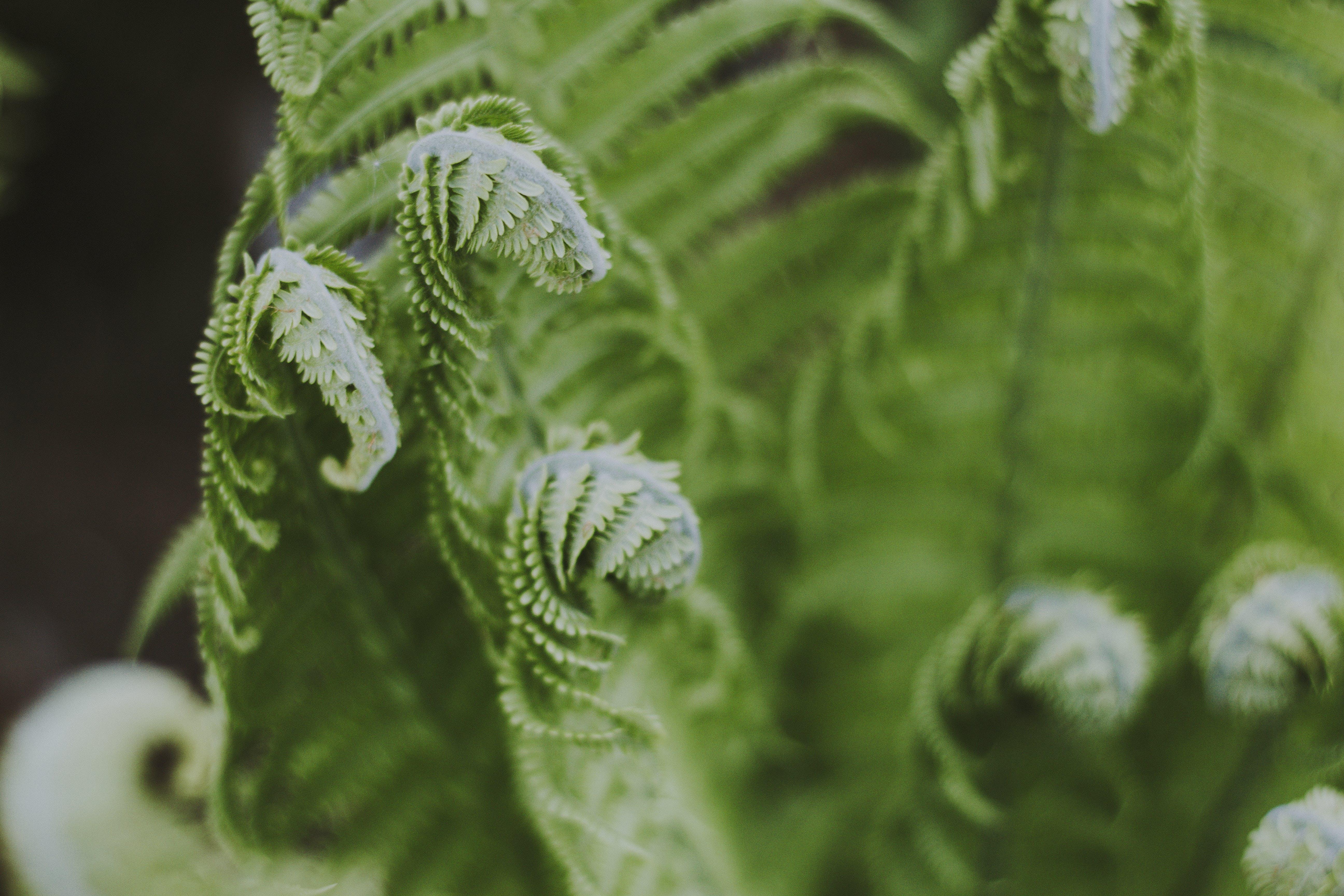 Kostenloses Stock Foto zu botanisch, farn, frisch, frische