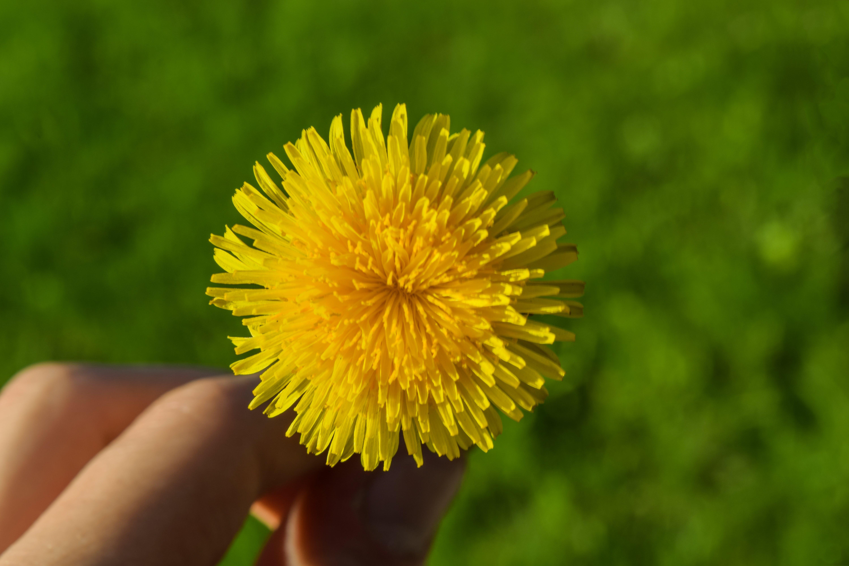 Kostenloses Stock Foto zu blume, blütenblätter, flora, gelbe blume