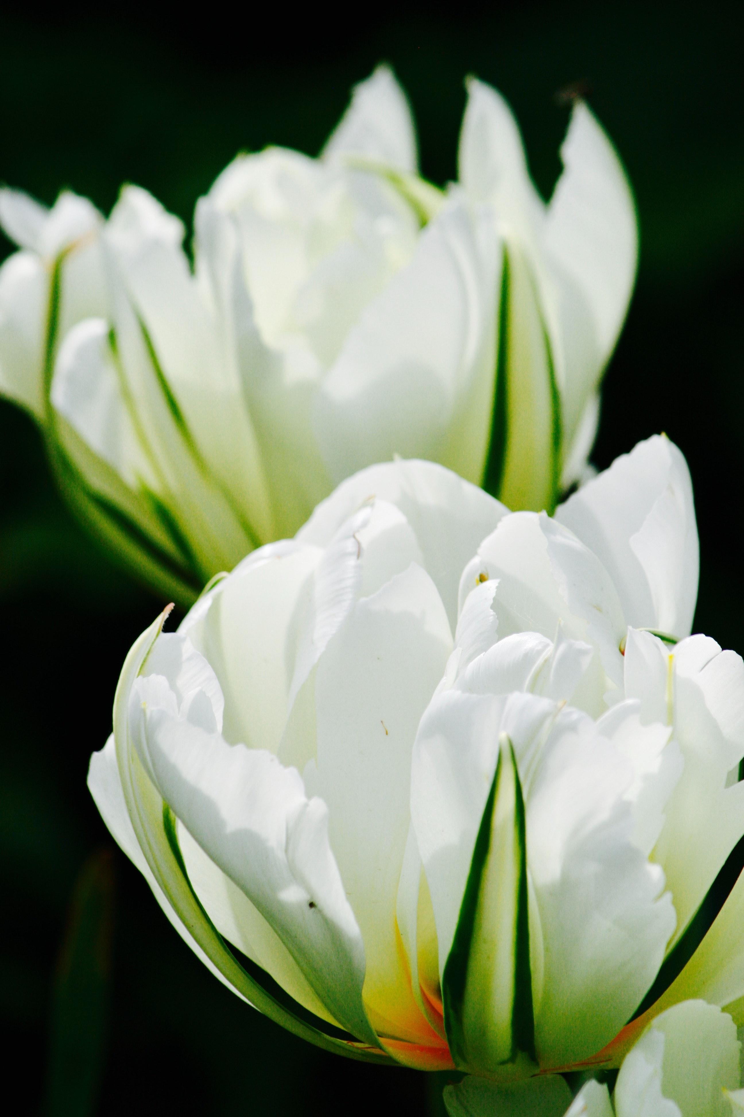 Foto Stok Gratis Tentang Bunga Tulip Putih Tulip