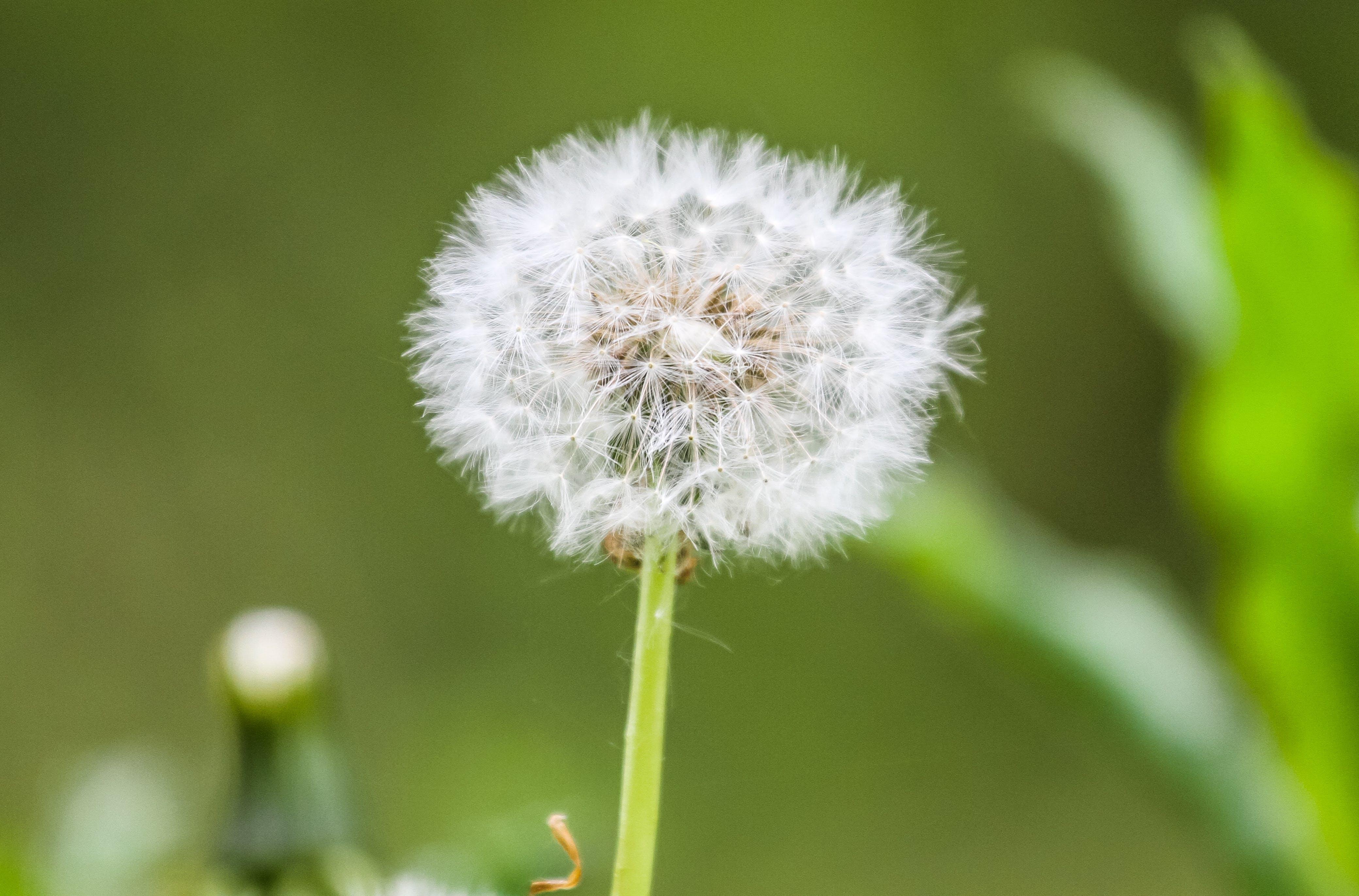 Free stock photo of dandelion