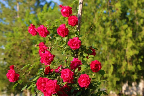 Photos gratuites de roses rouges