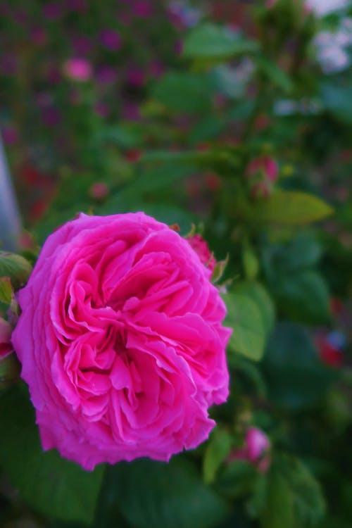 Бесплатное стоковое фото с розовые розы