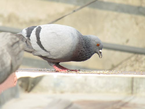 Free stock photo of eating, flying, pigeon, pigeons