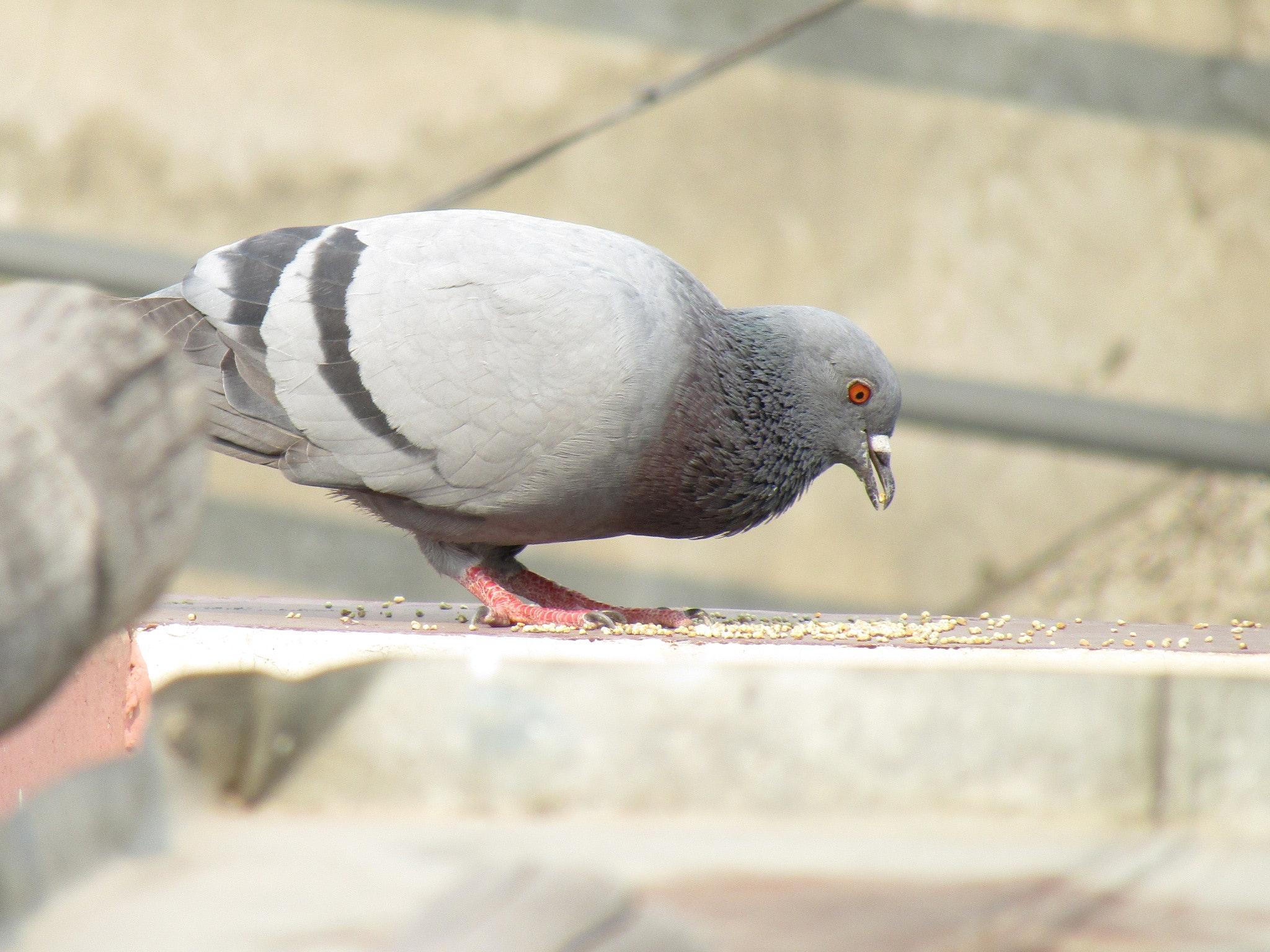 Download 62+  Gambar Burung Dara Makan HD Paling Bagus Free