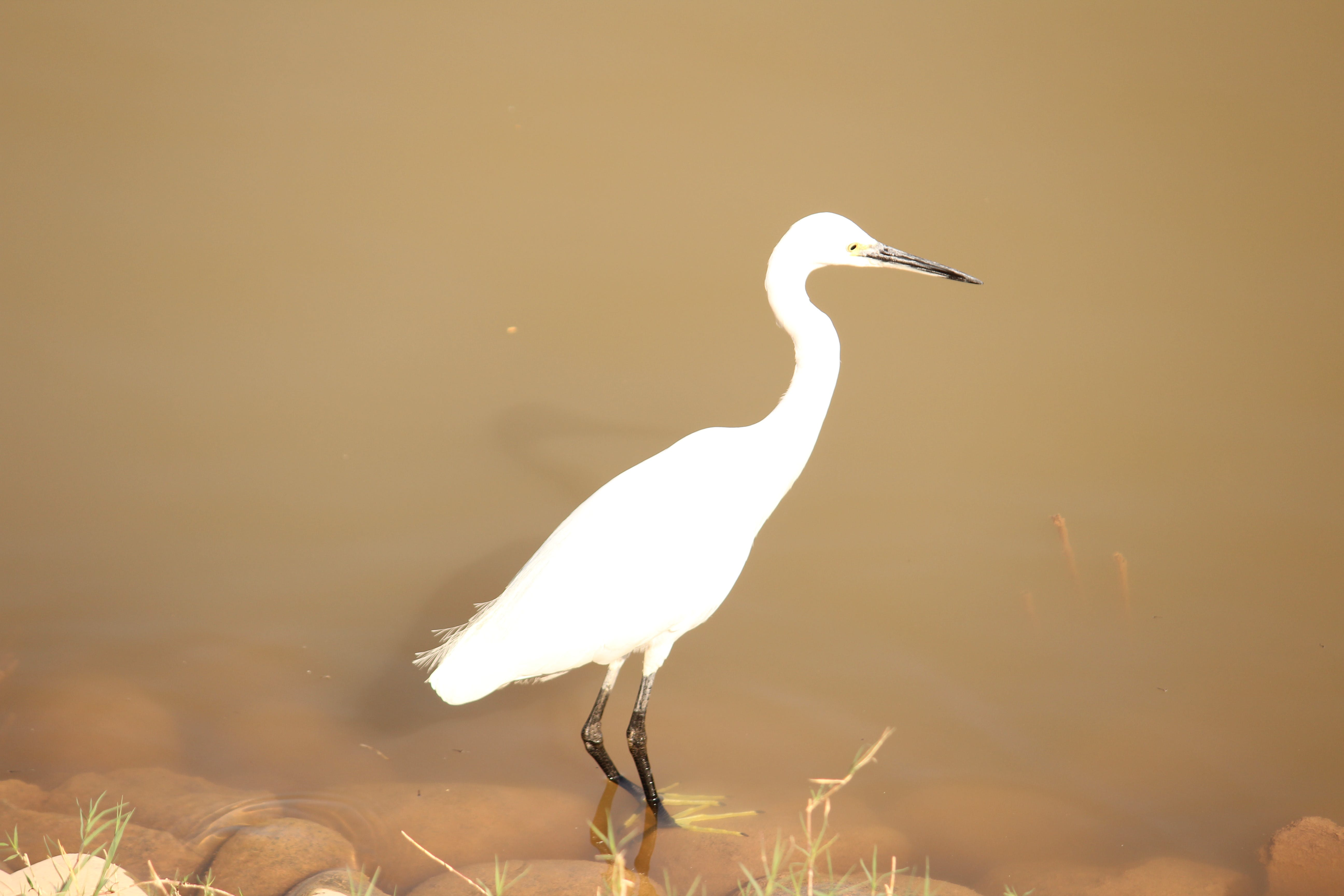 Free stock photo of bird, indian heron, white heron