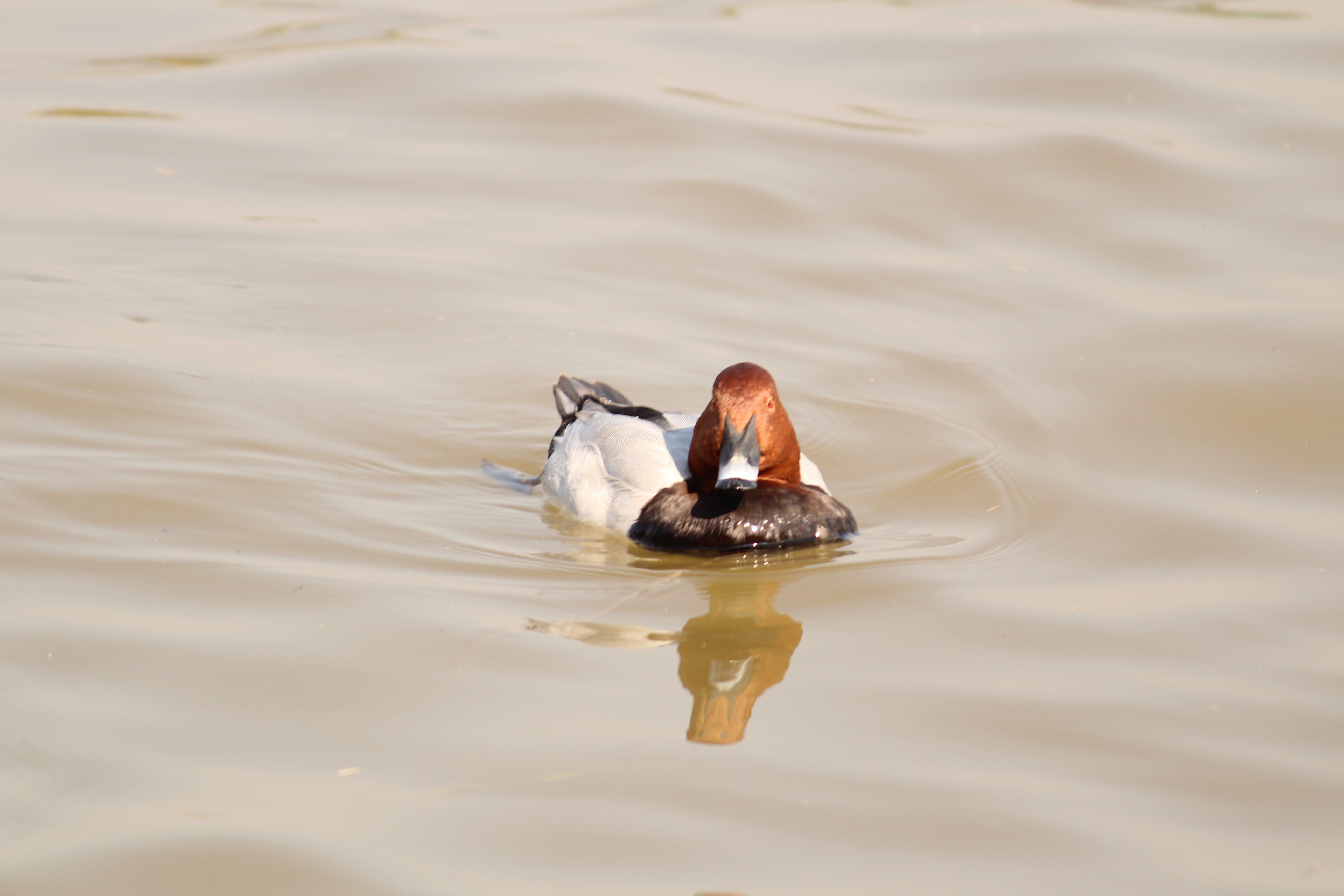 Free stock photo of duck, water bird