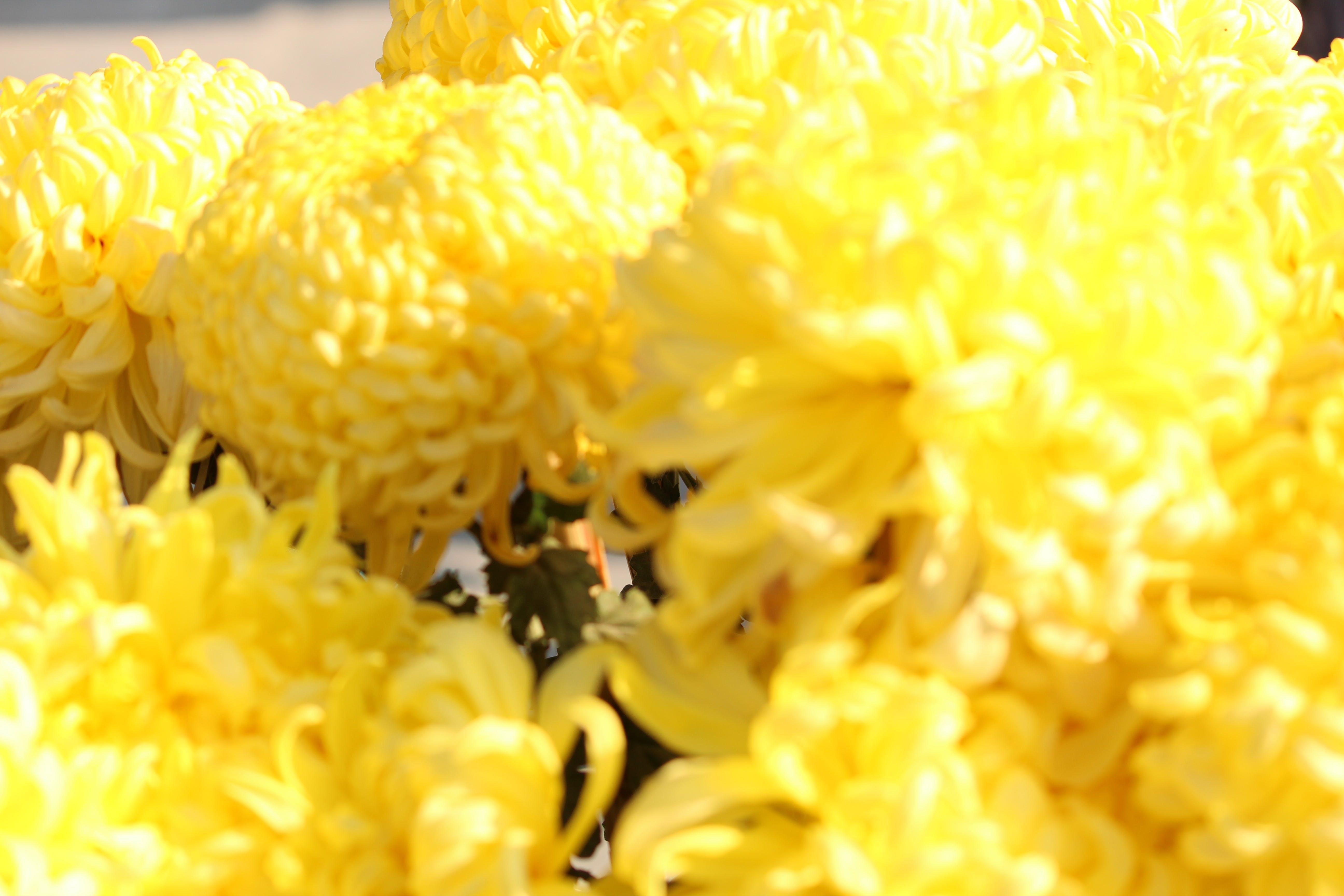 Free stock photo of flowers, yellow flowers