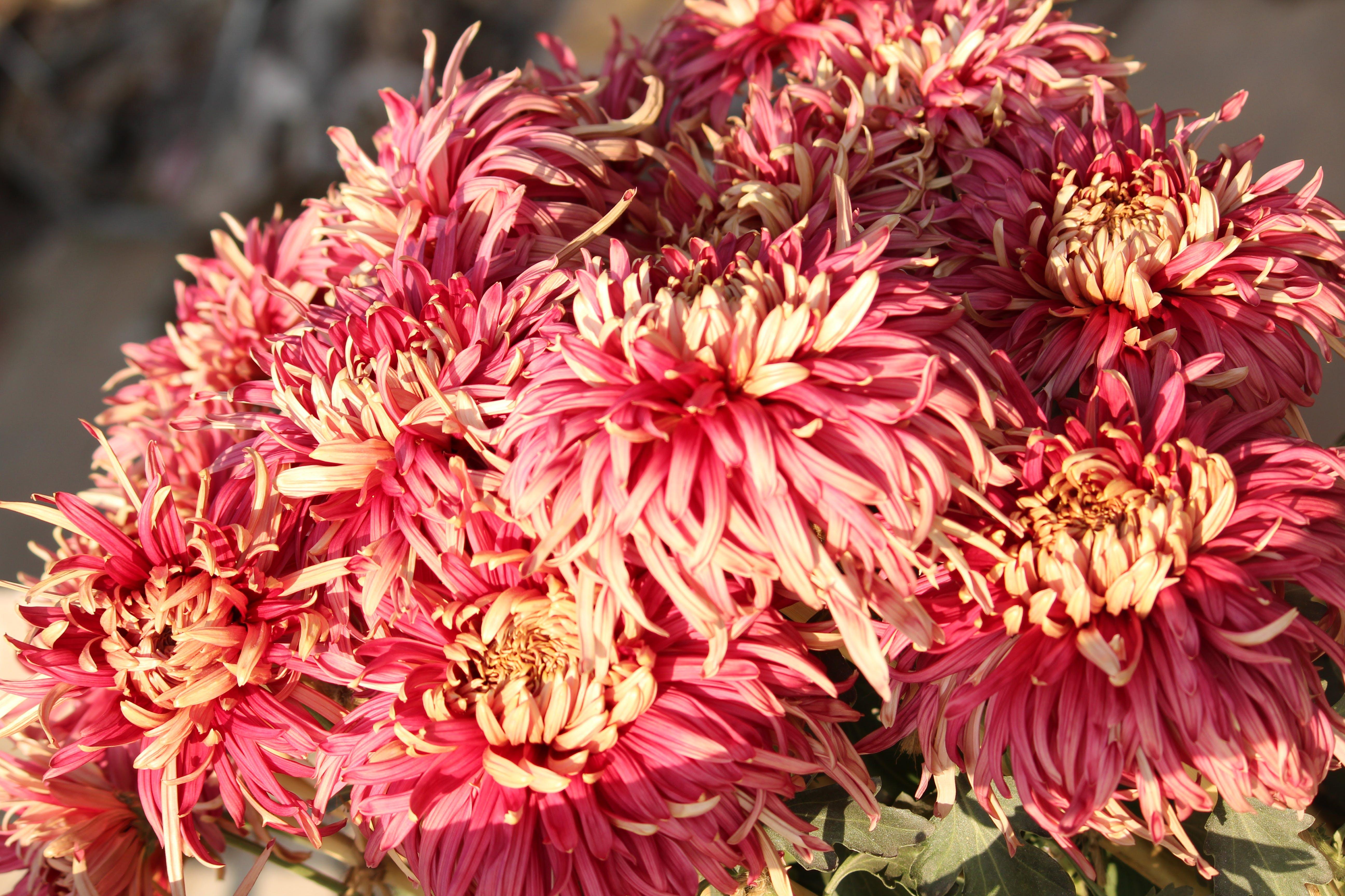 Free stock photo of dark pink flowers, flowers
