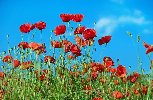 1000 interesting poppy flowers photos pexels free stock photos red petaled flower mightylinksfo Image collections