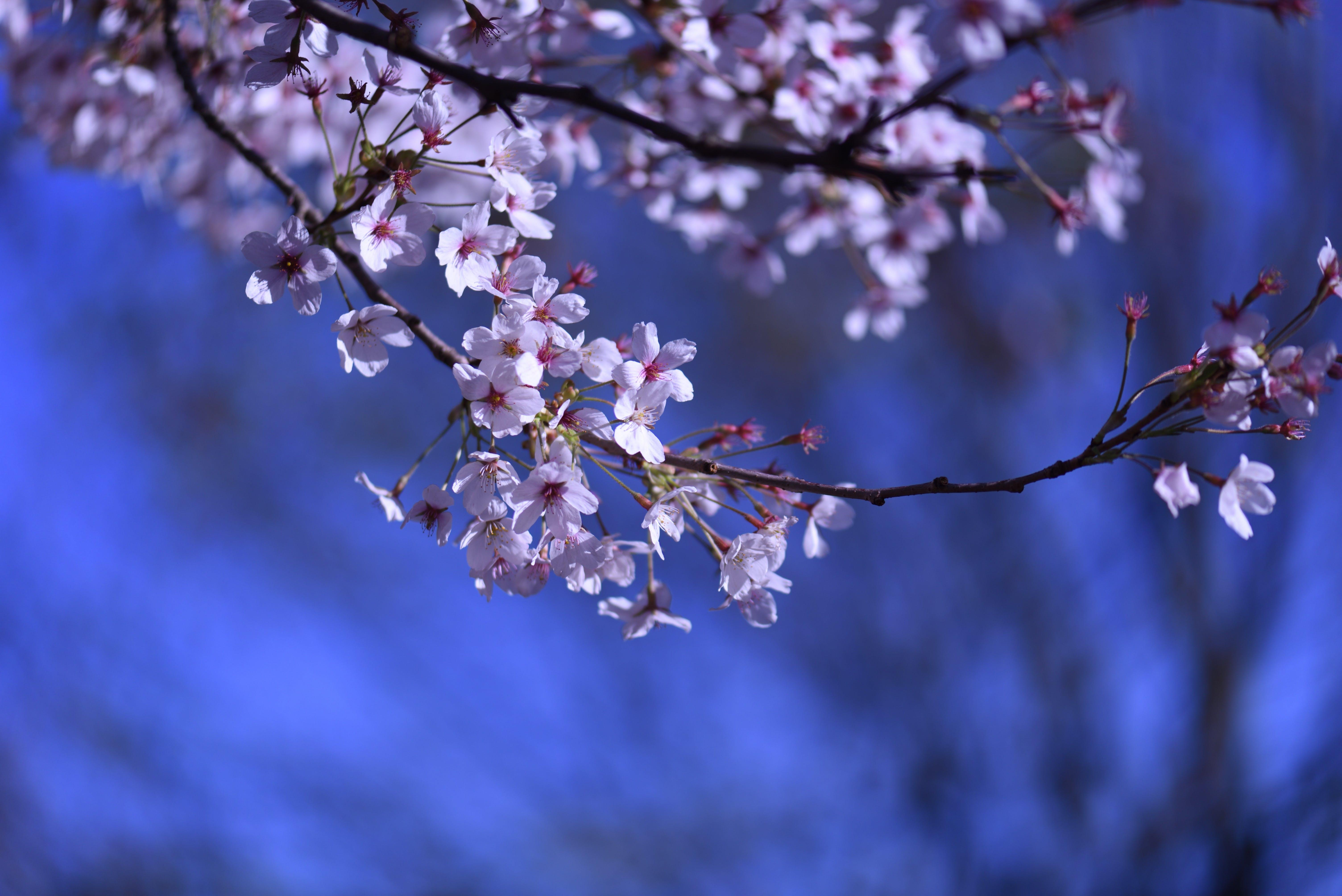 Free stock photo of background image, backgrounds, beautiful flowers, blue