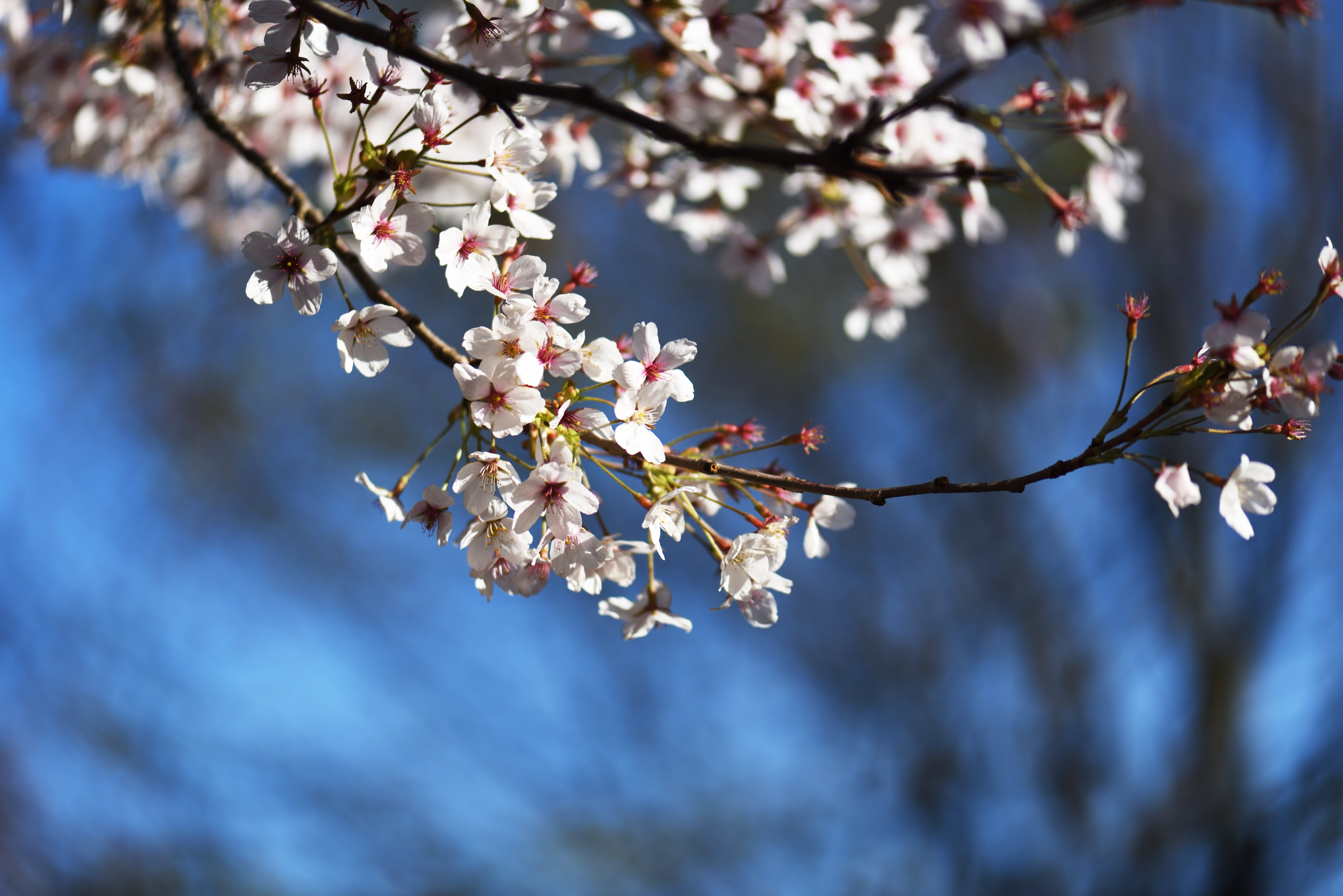 Free stock photo of beautiful flowers, blue background, cherry blossom, desktop background
