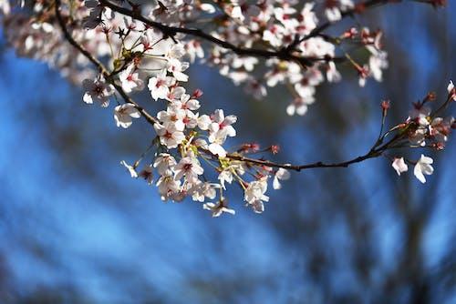 多倫多, 桌機桌面, 桌面背景, 櫻花 的 免費圖庫相片