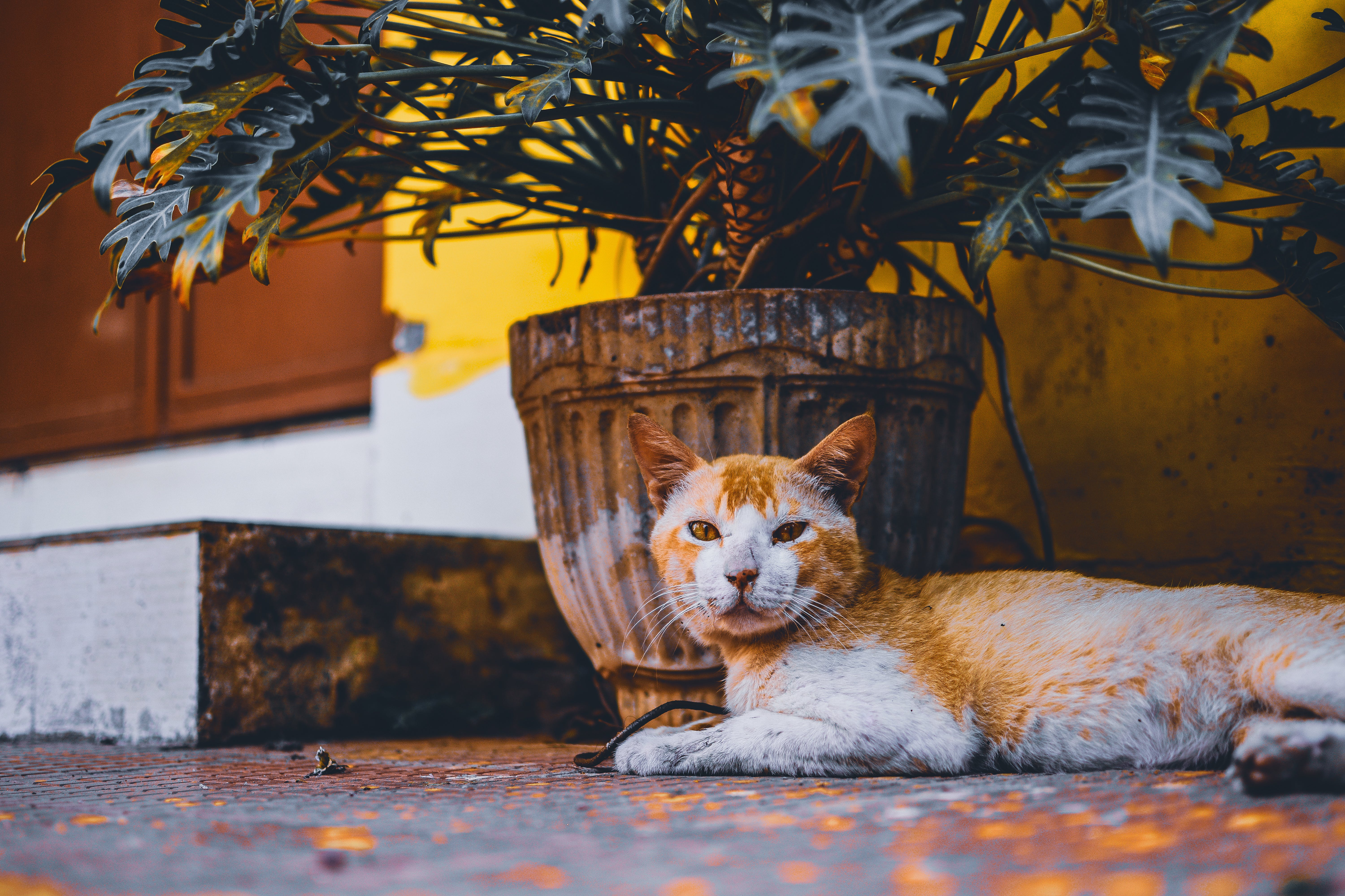 Short-fur Orange and White Cat Lies Next to Beige Plant Pot With Green Leaf Plant