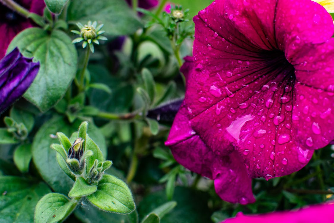 Close-Up Photography of Petunia Flower