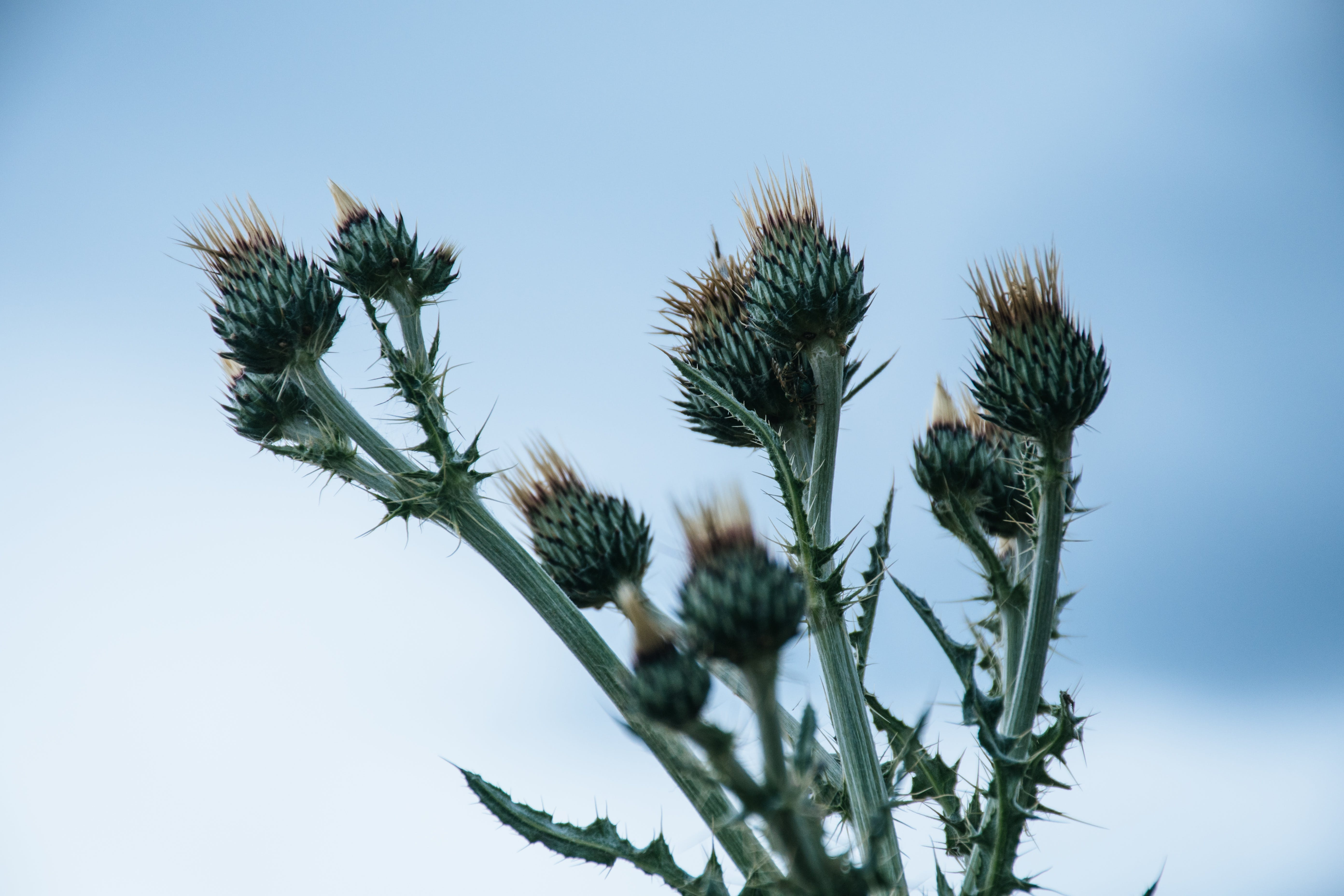 Green Thistle Flower Buds Pin Bloom at Daytime