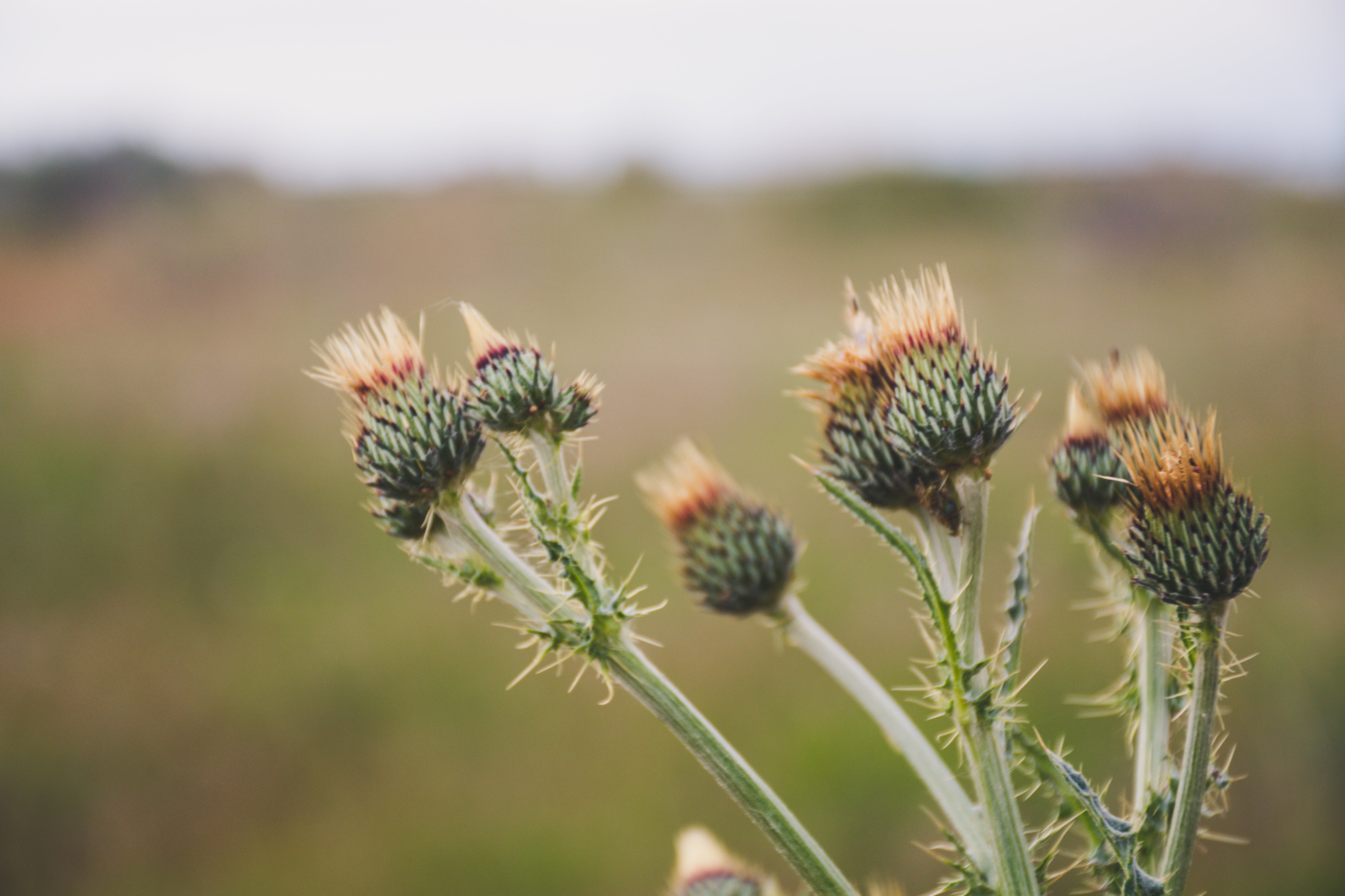 Selective Focus Photo of Green Thistle Buds at Daytime