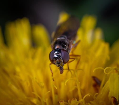 Black Fly on Yellow Petaled Flower